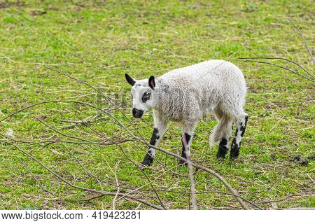 Cute Lamb Baby Of Hill Sheep, Is A Breed Of Domestic Sheep Originating In The County Of Powys In Wal