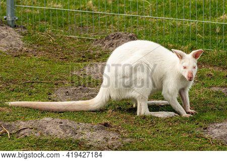 Extremely Beautiful Rare White Albino Kangaroo, Close Up