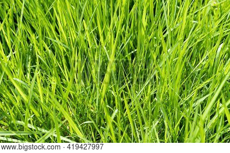 Fresh Green Grass Backgrounds For Design Or Backdrop Use, Environmental Eco Concept With Green Grass