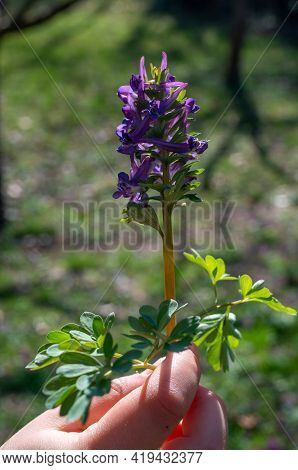 Hands Holds Hollow Lark Spur, Corydalis Cava, In Spring. High Quality Photo