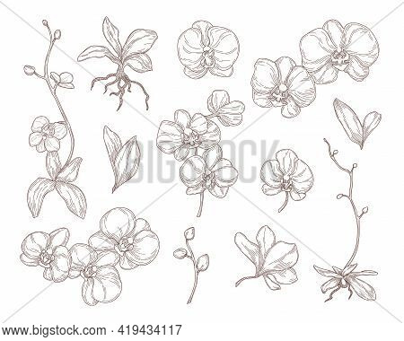 Orchid Flowers And Leaves Engraved Illustrations Set. Hand Drawn Sketch Of Beautiful Plant, Blossoms