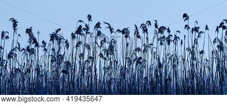 Common Reed -  Morning On Wet Meadows