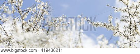 Spring Blossoming Spring Flowers On A Plum Tree Against Blue Sky