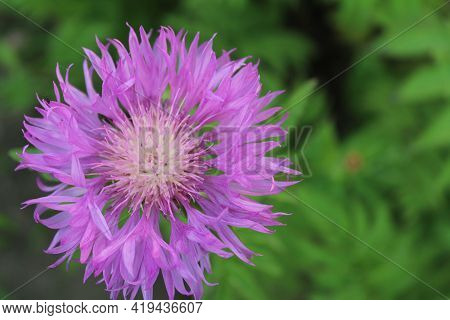 The Flower Of The Asters Is Lilac-colored Against The Green Grass Close-up. View From Above Aster Bu