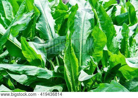 Close-up Green Grass, Natural Texture Background. Broadleaf Plant