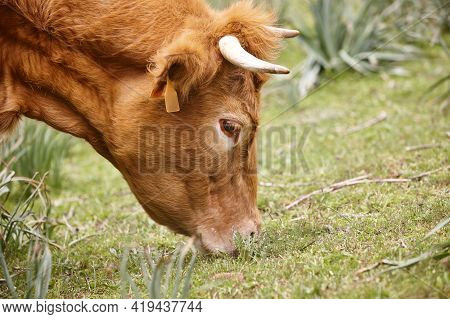 Cow Grazing Natural Pasture. Head Detail. Cattle Livestock Farming
