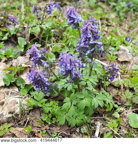 Corydalis Is A Genus Of About 470 Species Of Annual And Perennial Herbaceous Plants In The Family Pa