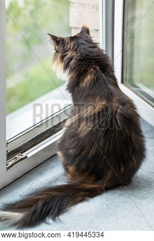 Long-haired Three-color Orange-black-and-white Cat Is Sitting Near Window And Looking Out It.