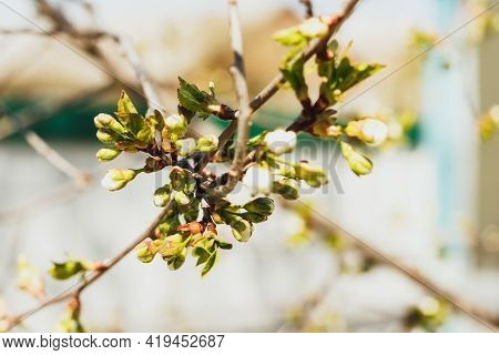 Cherry Twig With Many Blossom Buds Ready To Bloom At Spring.