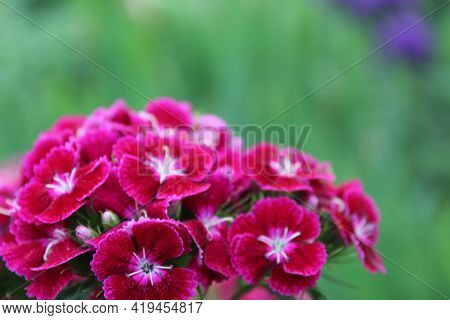 Chinese Astra Phlox Red Burgundy With A Light White Middle. Spring Flowers, Flowering On A Green Bac