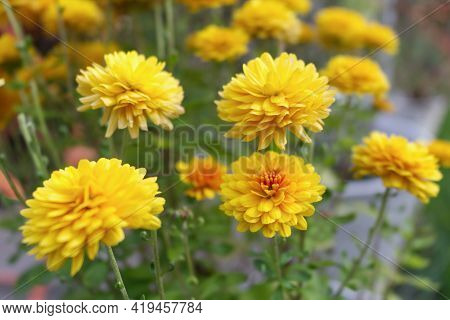 Blurred Orange Tagetes Flowers Close Up In Organic Garden. Many-petalled Flowers With Various Shades