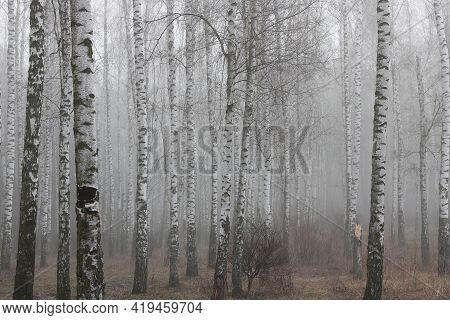 Beautiful Scene With Birches In Autumn Birch Forest In October Among Other Birches In Birch Grove In