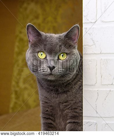 Cute Grey British-bred Cat Looks At The Camera. Portrait Of A Pet.