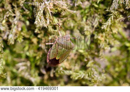 A Macro Of A Stink Bug On Moss On A Tree.