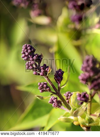 The Buds Of The Flowers Of A Lilac Bush Are Still Closed.