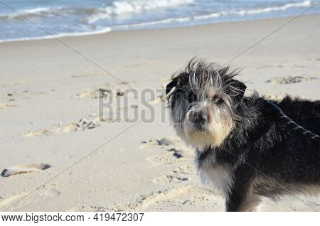 Black And White Dog Or Puppy At Beach On Sand