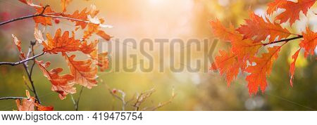 Oak Branches With Orange Autumn Leaves On A Blurred Background On A Sunny Day, Panorama. Autumn Back