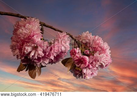 Beatiful Cherry Blossom Against The Evening Sky