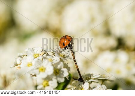 Ladybug - Coccinellidae, On The Small Snow-white Flowers Of The Plant Lobularia Maritima Alissum Mar