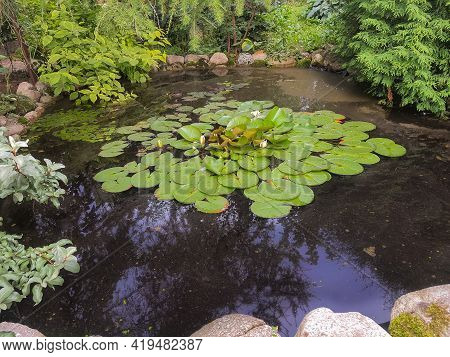 Lotus Or Blooming Water Lily In Small Pond.ornamental Pond With Water Lilies.evergreens And Aquatic