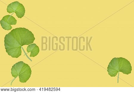 Group Of Gotu Kola (centella Asiatica) Leaves Isolated On Yellow Background. (asiatic Pennywort, Ind