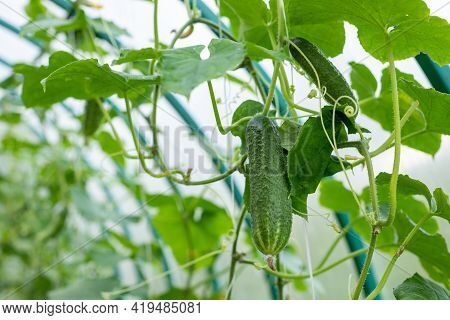 The Growth And Blooming Of Greenhouse Cucumber.tasty Organic Green Cucumbers Plants Growth In Big Du