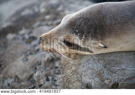 Closeup Seal. Fur Seal In The Sand Portrait. Sea Lions At Ocean. Fur Seal Colony, Arctocephalus Pusi