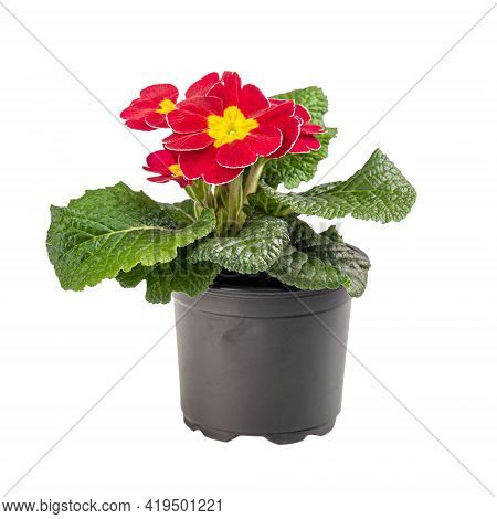 Red Primrose Adorned With A Bright Yellow Center Isolated On White Background