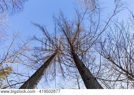 Fir In Spring Without Foliage. Without Needles. Naked Fir. Bottom Up View. High Quality Photo