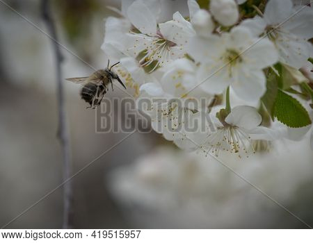 A Bumblebee Doing Her Work At Spring In Jena Thuringia