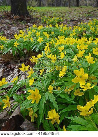 Anemone Ranunculoides, Yellow Anemone, Yellow Wood Anemone, Buttercup Anemone Natural Background, Se