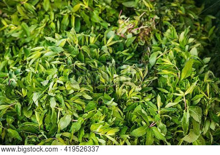 Close-up Green Plant For Background, Green Mint Texture Or Mint Background. Green Leaves Form A Natu