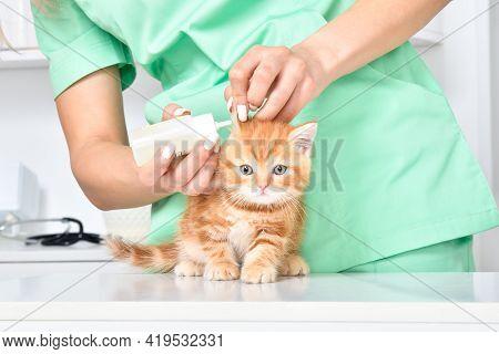 Veterinarian Treats Ears A Cute Little Kitten Scottish Straight