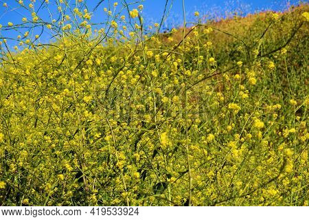 Lush Hillside Covered With Mustard Plant Flower Blossoms During Spring Taken On A Prairie At A Grass
