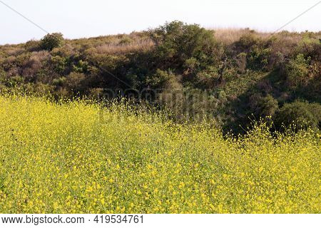 Rural Hillside Covered With Grasslands And An Oak Woodland Surrounded By A Plateau Of Mustard Plant