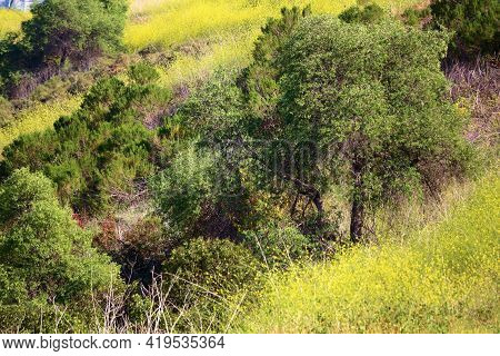 California Live Oak Trees Surrounded By Mustard Plant Wildflowers During Spring On A Lush Green Hill