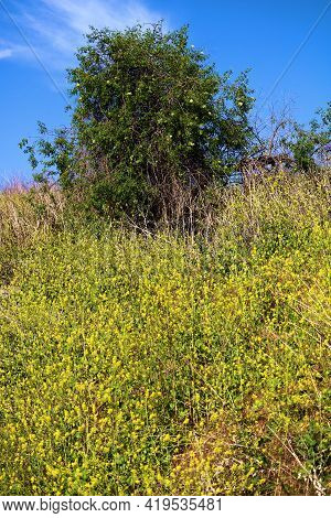 Lone Tree On A Lush Hillside Covered With Mustard Plant Wildflowers During Spring Taken At A Prairie