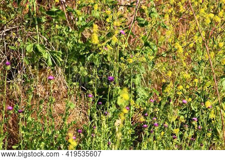 Rural Field Covered With Thistle And Mustard Plant Wildflowers During Spring Taken At A Prairie In T
