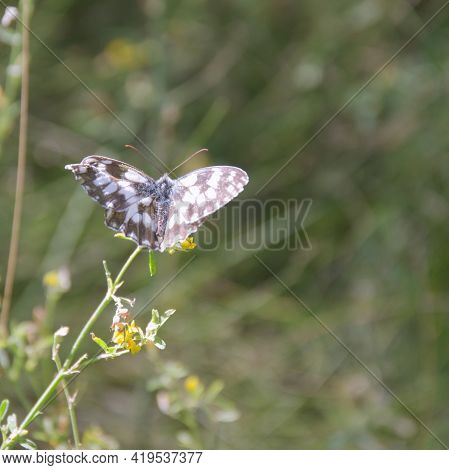 Marbled White Butterfly With Spread Out Wings On A Wild Field Flower. Closeup