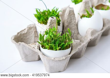 Fresh Micro Greens. Microgreens Of Arugula And Cress Grow In White Egg Shell. Cardboard Boxes With S