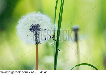 Close Up Of Dandelions Nature Background. Nature Background Of Dandelions In The Grass. Green Nature