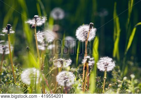 Close Up Of Dandelions Nature Background Nature Background Of Dandelions In The Grass. Green Nature