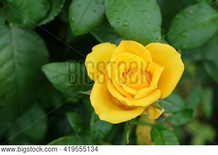 One Yellow Rose Flower, Close-up. Beautiful Flower With Yellow Petals.