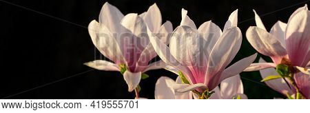 Magnolia Tree Branch With White Purple Blooming Close Up Garden Spring Time, Slightly Moving Blossom