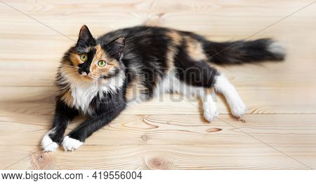 Cute Three-color Young Cat Is Lying On Wooden Floor And Looking At Camera.