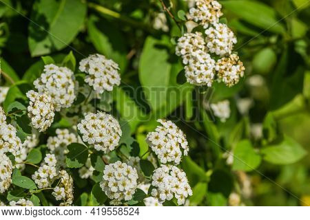 Tiny Snow-white Lilac Flowers Lobularia Maritima Alissum Maritimum, Sweet Alissum Or Sweet Alison, A