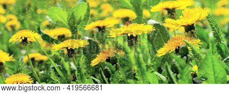 Dreamy Spring Field With Dandelion Flowers, Ladybug, Grass, Close-up Panorama. Spring Floral Image.