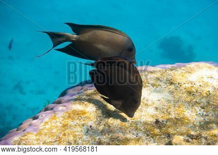 Red Sea Sailfin Tang (zebrasoma Desjardinii) Over Bright Coral Reef In The Ocean. Marine Black Tropi