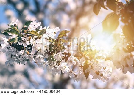 Blooming Branch Of Cherry, Sweet Cherry Or Apple Tree In The Rays Of The Setting Or Dawn Sun. The Na