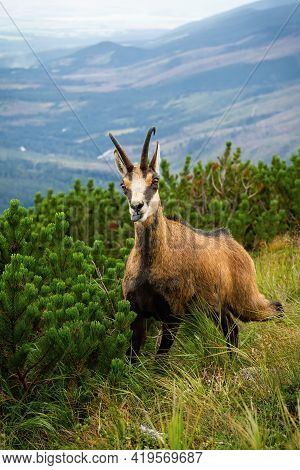Tatra Chamois With Tongue Out Next To Dwarf Pine In Summer